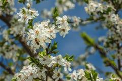 Una abeja que recoge el polen, néctar en la flor del albaricoque Fotos de archivo