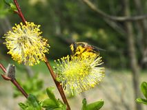 Una abeja que recoge la miel de sauce foto de archivo libre de regalías