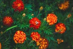 Una abeja que recolecta el néctar de una flor Fotos de archivo
