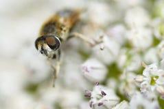 Una abeja que recolecta el polen. Imagenes de archivo
