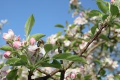 Una abeja que recolecta el polen de una flor de la manzana Imágenes de archivo libres de regalías