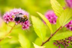 Una abeja que recolecta el polen en Spirea Japonica Macro del primer Fotos de archivo libres de regalías