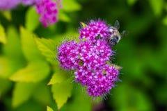 Una abeja que recolecta el polen en Spirea Japonica Macro del primer Foto de archivo libre de regalías