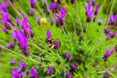 Una abeja que se arrastra a través de las flores púrpuras Fotografía de archivo libre de regalías