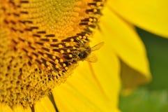 Una abeja que se baña en el polen Imagen de archivo libre de regalías