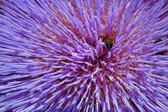 Una abeja que se cavara en una flor violeta de punta Fotografía de archivo libre de regalías