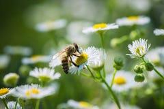 Una abeja que se coloca en la flor de la manzanilla Fotografía de archivo