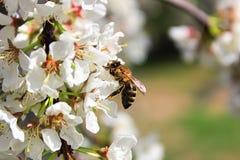 Una abeja que se sienta en ciruelo florece en primavera Fotos de archivo