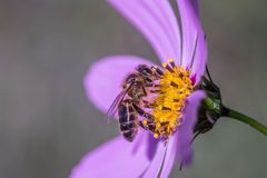 Una abeja que se sienta en una flor azul Fotografía de archivo