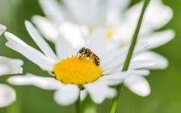 Una abeja que se sienta en una flor de la margarita Foto de archivo libre de regalías