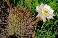 Una abeja que se sienta en la flor de un cactus, la Argentina Imágenes de archivo libres de regalías