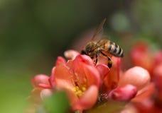Una abeja que se sienta en tiro de la macro del flor del membrillo Fotos de archivo libres de regalías