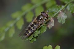 Una abeja que se sienta en una rama frondosa Imagen de archivo libre de regalías