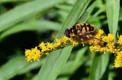 Una abeja que se sienta en una vara de oro Fotos de archivo