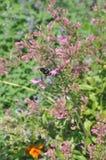 Una abeja que trabaja en una flor rosada Fotografía de archivo