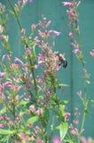 Una abeja que trabaja en una flor rosada Foto de archivo libre de regalías