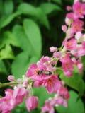 Una abeja que trabaja en la vid mexicana de la enredadera Fotos de archivo