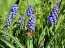 Una abeja que trabaja en las flores del muscari Imagen de archivo