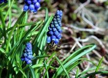 Una abeja que trabaja en las flores del muscari Fotos de archivo libres de regalías