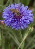 Una abeja que visita una flor en un día de verano caliente foto de archivo