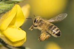 Una abeja que vuela a la aulaga en el campo común de Southampton Imagen de archivo