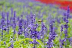 Una abeja que vuela a la flor azul de Salvia y a x28; sage& azul x29; con Fotografía de archivo libre de regalías