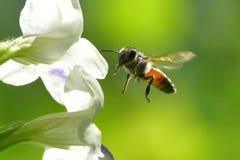 Una abeja que vuela a la flor hermosa Fotografía de archivo