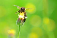 Una abeja que vuela a la flor hermosa Fotos de archivo libres de regalías