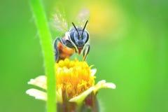 Una abeja que vuela a la flor hermosa Foto de archivo