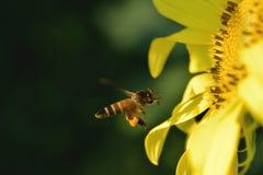 Una abeja que vuela a la flor hermosa Imágenes de archivo libres de regalías