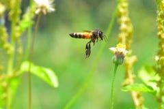 Una abeja que vuela a la flor hermosa Imagen de archivo