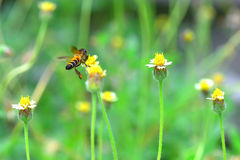 Una abeja que vuela a la flor hermosa Fotografía de archivo libre de regalías