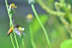 Una abeja que vuela a la flor hermosa Imagen de archivo libre de regalías