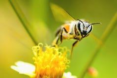 Una abeja que vuela a la flor hermosa Foto de archivo libre de regalías