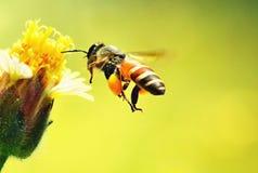 Una abeja que vuela a la flor hermosa Imagenes de archivo