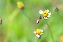 Una abeja que vuela a la flor hermosa Fotos de archivo