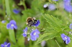 Una abeja que vuela sobre las flores azules Imagen de archivo libre de regalías