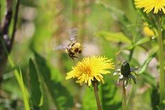 Una abeja que vuela sobre un diente de león Fotos de archivo libres de regalías