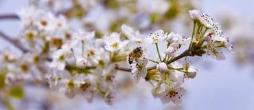 Una abeja que vuela sobre una flor de la almendra Imágenes de archivo libres de regalías