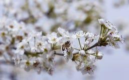 Una abeja que vuela sobre una flor de la almendra Imagen de archivo libre de regalías
