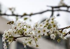 Una abeja que vuela sobre una flor de la almendra Fotografía de archivo libre de regalías