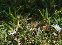 Una abeja que vuela a un wildflower en el verano Imagen de archivo libre de regalías