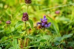Una abeja rayada que poliniza los pétalos violetas de la flor en un alto tronco verde con las hojas Fotos de archivo