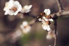 Una abeja recoge el néctar Imagenes de archivo