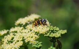 Una abeja recoge el néctar Imagen de archivo libre de regalías