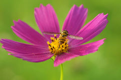 Una abeja recoge el néctar, dando vuelta a su parte posterior en un cosmos rosado brillante de la flor, pone verde el fondo borro Fotos de archivo libres de regalías