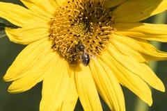 Una abeja recoge el néctar de una flor de un girasol Foto de archivo