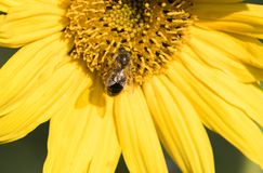 Una abeja recoge el néctar de una flor de un girasol Fotos de archivo