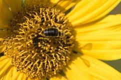 Una abeja recoge el néctar de una flor de un girasol Fotos de archivo libres de regalías