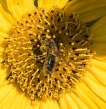 Una abeja recoge el néctar de una flor de un girasol Imagen de archivo libre de regalías